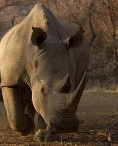 Alleged rhino horn traders walk free. Horrible.