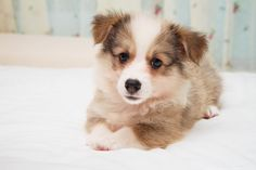Resting Corgi Pup by Jacqueline Choo - Photo 32286067 / 500px