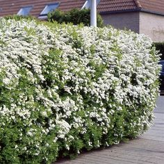 Dwarf Garland Spirea (Spiraea arguta 'Compacta'). Showy white flowers in early spring.