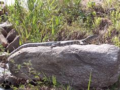 Water monitor Kruger National Park, National Parks, View Photos, Monitor, Safari, Water, Plants, Gripe Water, Plant