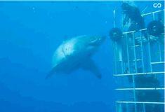 """Mutig: Taucher gibt Riesen-Hai """"Deep Blue"""" einen """"Hai-Five"""""""