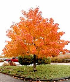 Shantung Maple Tree, 25'-40' tall, small yellow flowers and purplish leaves in spring, fall leaves are yellowish orange backyard tree