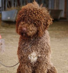 Light brown portuguese water dog - photo#7