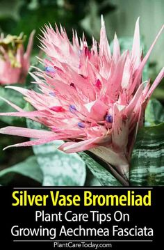 Silver Vase Bromeliad Plant Care: Tips On Growing The Aechmea Fasciata Aechmea fasciata the Silver Vase Bromeliad a stiff-leaved Urn Plant, decorative, popular house plant because of its beautiful leaves and long-lasting flowers of rose and violet. Inside Plants, Large Plants, Growing Flowers, Planting Flowers, Growing Succulents, Planting Succulents, Popular House Plants, Flower Pot Design, House Plant Care