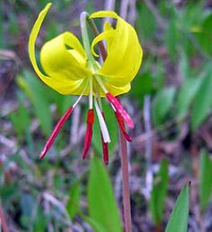Erythronium grandiflorum Dog Tooth violet