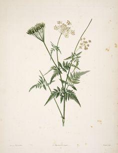 gravures botanique Rousseau - gravures botanique Rousseau - 162 choerophyllum aureum - cerfeuil dore - Gravures, illustrations, dessins, images