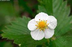 Kuvahaun tulos haulle metsämansikka kukka