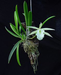 Brass. Jiminy Cricket - Orchid Board - Most Complete Orchid Forum on the web !