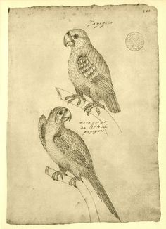 Vintage Bird Sketch Drawing Birds of  Maranhao by CarambasVintage