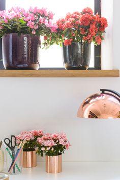 Die Azaleen-Pflege ist mit wenig Aufwand verbunden. Die Genter Azalee ist eine unkomplizierte Zimmerpflanze, die mit minimaler Pflege wochenlang blüht. Mit diesen Tipps können Sie Ihre Genter Azalee möglichst lange genießen.