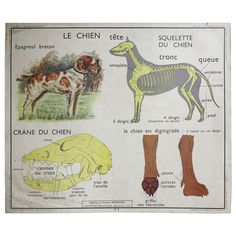 Vintage Animal Anatomy School Chart, France, 1950-1955 | From a unique collection of antique and modern decorative art at http://www.1stdibs.com/furniture/wall-decorations/decorative-art/