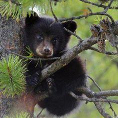 Great smoky mountains bear cub. So cute