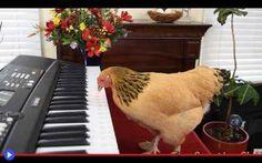 La più alta espressione musicale di un pollo Una beccata alla volta, selezionando attentamente i tasti sulla pianola, esprimi tutta la tua passione per l'Opera Italiana, piccola gallina di una razza che proviene da lontano! Il cui nome è Jokgu, #uccelli #musica #divertente #opera