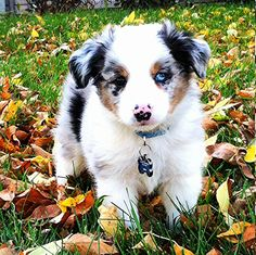 Mini Aussie... ATTN ROOMIES: adding another furry friend to the lease later this year