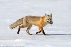Red Fox and Northern Pocket Gopher by Nick Saunders on 500px