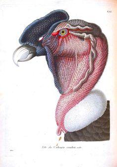 Animal - Animal head - Bird - Tete de Condor
