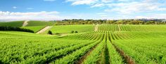 Let Sydney Boutique Tours take you Behind the Scenes of the Hunter Valley's Best Boutique Wineries on our Award-Winning Wine Tours. Sonoma Valley Wineries, Napa Valley Wine, Charlottesville Wineries, Monticello Wine Trail, Wine Safari, In Vino Veritas, Day Tours, Wine Country, South Australia