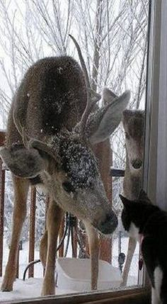 Good Morning! Santa's Reindeer Rudolph? Our cat may look like the one in the photo but she would not be acting like this one! Hahaha!