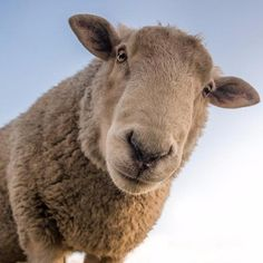 One of many great free stock photos from Pexels. This photo is about cute, livestock, sheep Tier Wallpaper, Animal Wallpaper, The Lost Sheep, Lord Is My Shepherd, Drawing Games, Intermittent Fasting, Animal Pictures, New Zealand, Goats