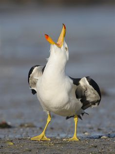 The Pacific Gull - Larus pacificus, is a very large gull, native to the coasts of Australia. Photo by Paul Randall. Pretty Birds, Beautiful Birds, Bird Pictures, Animal Pictures, Animals And Pets, Cute Animals, Photo Animaliere, Australian Birds, Funny Birds
