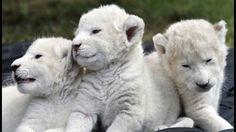 """""""Documentary Film - The White Lions Of Africa""""... - Peter Goettler - Google+"""