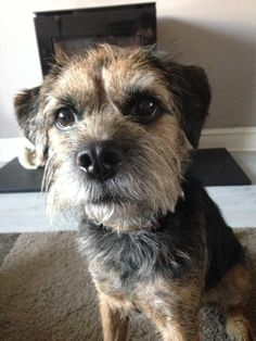 'When will Dinner be ready Dad, I'm starving?' - Hungry Border Terrier Dog