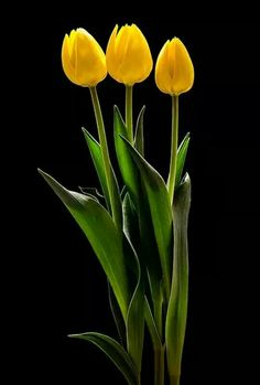 Founded in 2014 by Corne van Driel, van Driel Media is a creative and technology agency based in Johannesburg, South Africa. Yellow Tulips, Tulips Flowers, Exotic Flowers, Amazing Flowers, Flower Vases, Blue Flowers, Flower Art, Flower Arrangements, Blue Flower Wallpaper