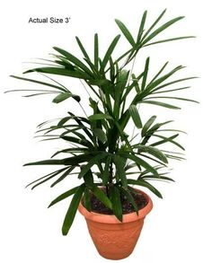 #2: The Lady Palm (Rhapis excelsa) frost hardy