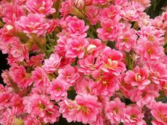 K is for Kalanchoe, a tropical flower that grows on small shrubs.