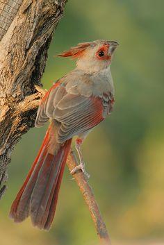 Pyrrhuloxia/Desert Cardinal (Cardinalis sinuatus)
