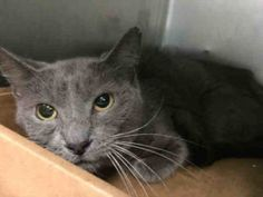 ***TO BE DESTROYED 08/05/16*** PREGNANT CJ FORCED OUT OF APARTMENT AFTER OWNER WAS EVICTED...BUT ONLY CJ FACES POSSIBLE DEATH! CJ is just 4 years old and SCARED, as she should be...she will be killed at noon tomorrow and at the very least they will SPAY - ABORT HER! And to make it that much harder for this mom-to-be, they slapped her with a RESCUE ONLY rating! PLEASE, CONTACT a New Hope rescue and offer to FOSTER OR ADOPT CJ. Just because her owner was IRRESPONSIBLE doesn't mean this girl…