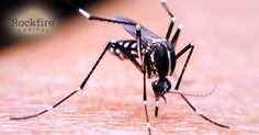 Oxford University spin-out Oxitec has over the past decade, developed a genetically-engineered male mosquito of the Zika-carrying Aedes aegypti strain.  #zika #zikavirus