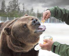 ---Juuso likes honey Animals And Pets, Wild Animals, Brown Bear, Nature, Honey, Travel, Beautiful, Finland, Friends