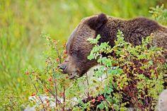 Curiosidades del oso Grizzly, el oso más peligroso - Tiempos Mafufos