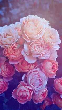 Pink Galaxy Iphone Wallpaper Beautiful pink roses hd wallpaper iphone 6 plus ...