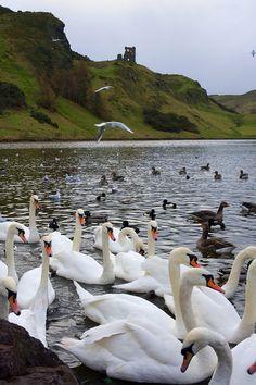 Swans, Ducks and Geese Below Arthur's Seat - Edinburgh Scotland