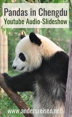 [Audio-Slideshow] Raufende und spielende Pandas in Chengdu - Anders reisen Chengdu, China, Panda Bear, Youtube, Audio, Travel, Highlights, Lovers, Pandas