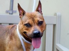 ~~STUNNING 2 YR OLD GIRL TO BE DESTROYED - 7/31/14~~ Manhattan Center   My name is JEWELFISH. My Animal ID # is A1007961. I am a female tan pit bull mix. The shelter thinks I am about 2 YEARS   I came in the shelter as a STRAY on 07/24/2014 from NY 10466, owner surrender reason stated was STRAY.