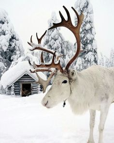 A white reindeer in snow