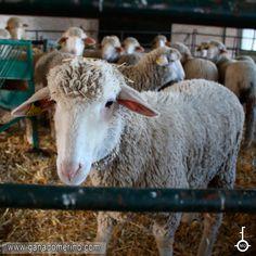 LA RAZA OVINA MERINA Es un legado de la historia de España que debemos conservar para las generaciones futuras, un tesoro que en otros tiempos tuvo categoría de estratégico bajo el control de la Mesta. Control, Goats, Animals, Sheep Breeds, Cattle, Bass, Historia, Animales, Animaux