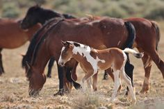 Wild Mustangs Casually Grazing; a Pretty Chestnut Paint Foal Staying Close to its Lovely Bay Mama.