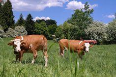 Der #Frühling ist einfach wundervoll - ein Streifzug durch die Landschaft bei München - Begegnung mit glücklichen Kühen