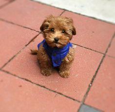 Mini Australian #Labradoodle #puppy