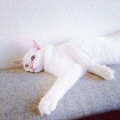 Pouchong Cat | Pawshake