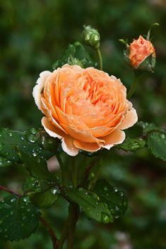 ~Rosa 'Crown Princess Margareta'
