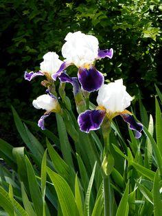 paintings of iris flowers - Yahoo Image Search Results Purple Iris Flowers, Purple Petunias, Purple Flower Photos, Flowers Nature, White Flowers, Beautiful Flowers, Alocasia Plant, Alien Plants, Lavender Blossoms