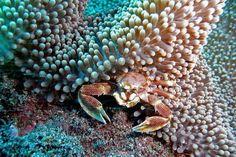 Crabe porcelaine -