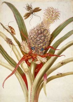 MARIA SYBILLA MERIAN (1647-1717)  German naturalist and scientific illustrator. Published her first book of naturalist illustrations at age 28. She became famous after the success of her major work, Metamorphosis insectorum Surinamensium, and was considered a major contributor to the field of entomology. Artwork: Pineapple and Cockroaches