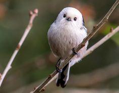 Witkop Staartmees  (Van vroegevogels)