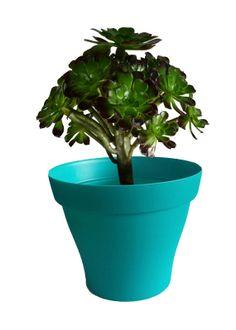 Aeonium avec cache pot turquoise